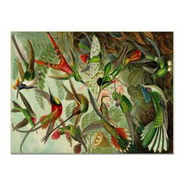 "Холст 30x40 ""Колибри (Trochilidae, Ernst Haeckel)"" - картина, колибри, день матери, красота форм в природе, эрнст геккель"