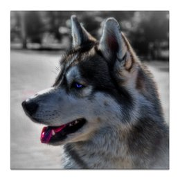 "Холст 50x50 ""Сибирский Хаски"" - собака, хаски, husky, живая природа, сибирский хаски"