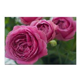 """Холст 50x75 """"Розовые розы"""" - праздник, любовь, цветы, розовый, розы"""