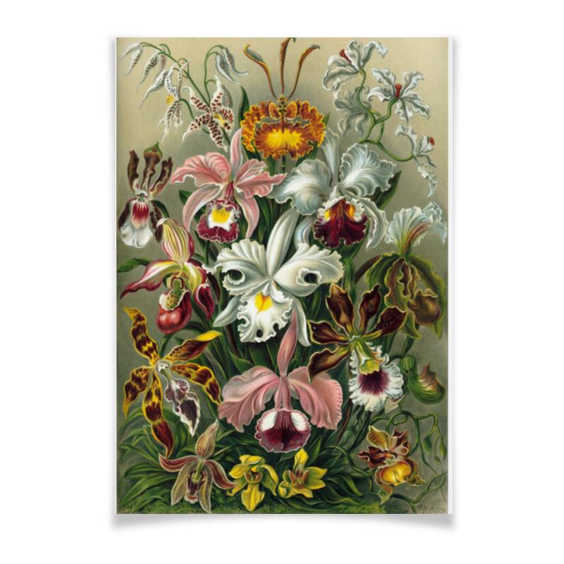 Плакат A3(29.7x42) Printio Орхидеи (orchideae, ernst haeckel) самые дешевые орхидеи в москве