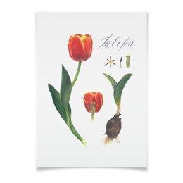 """Плакат A3(29.7x42) """"Тюльпан"""" - ботаническая иллюстрация, цветы, акварель, watercolor flowers"""