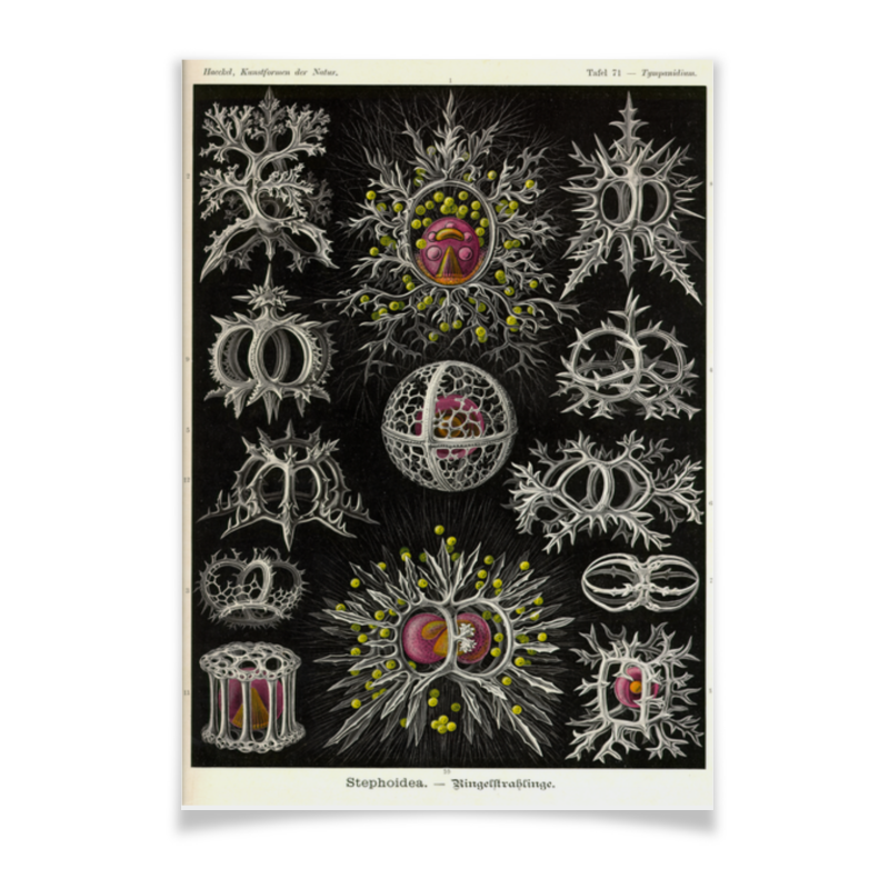 Плакат A2(42x59) Printio Stephoidea, ernst haeckel плакат a2 42x59 printio драко малфой