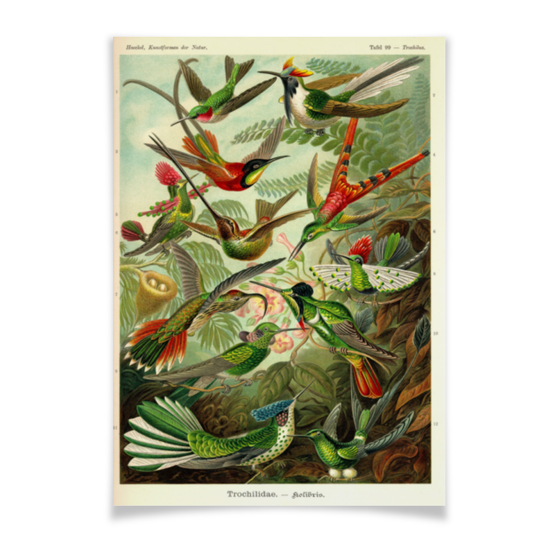 Плакат A2(42x59) Printio Колибри (trochilidae, ernst haeckel) the ernst