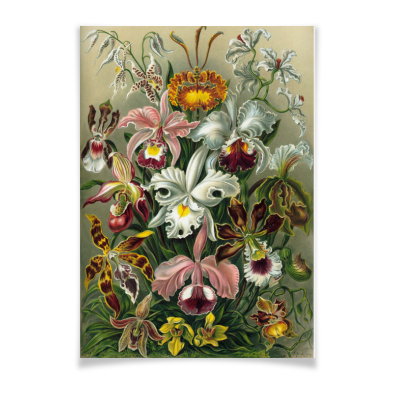 Плакат A2(42x59) Printio Орхидеи (orchideae, ernst haeckel) самые дешевые орхидеи в москве