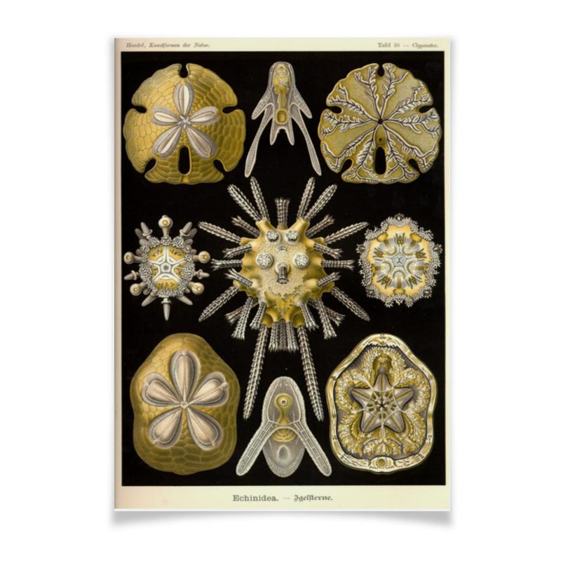 Плакат A2(42x59) Printio Echinidea (эхинидея), ernst haeckel плакат a2 42x59 printio противостояние