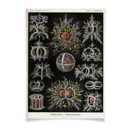 """Плакат A2(42x59) """"Stephoidea, Ernst Haeckel"""" - биология, красота форм в природе, эрнст геккель"""