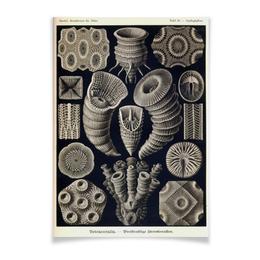 """Плакат A2(42x59) """"Tetracoralla, Ernst Haeckel"""" - стильный, ракушка, биология, красота форм в природе, эрнст геккель"""