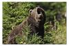 """Пазл 73.5 x 48.8 (1000 элементов) """"Медведь"""" - медведь, мишка, россия, бурый"""