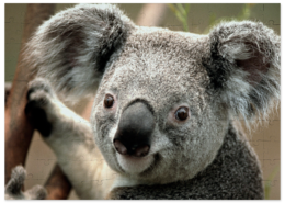 """Пазл магнитный 27.4 x 30.4 (210 элементов) """"коала"""" - прикольные"""