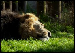 """Пазл магнитный 27.4 x 30.4 (210 элементов) """"Царь зверей"""" - прикольно, арт, лето, популярные, африка, лев, прикольные, в подарок, оригинально, девушке"""