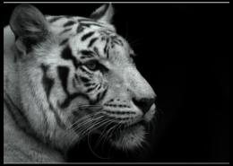 """Пазл магнитный 27.4 x 30.4 (210 элементов) """"Белый Тигр"""" - арт, популярные, белый, прикольные, в подарок, интерьер, оригинально, девушке, парню, тигр"""
