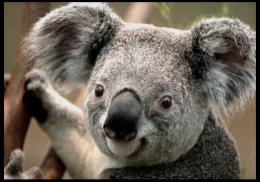 """Пазл магнитный 18 x 27 (126 элементов) """"коала"""" - прикольные"""